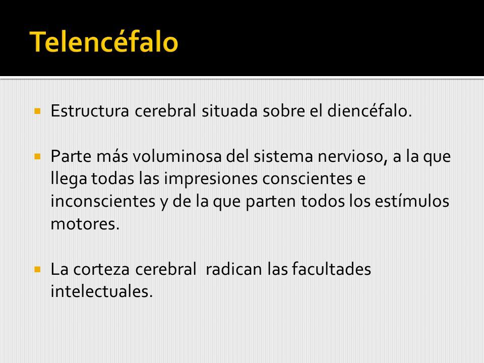 Telencéfalo Estructura cerebral situada sobre el diencéfalo.