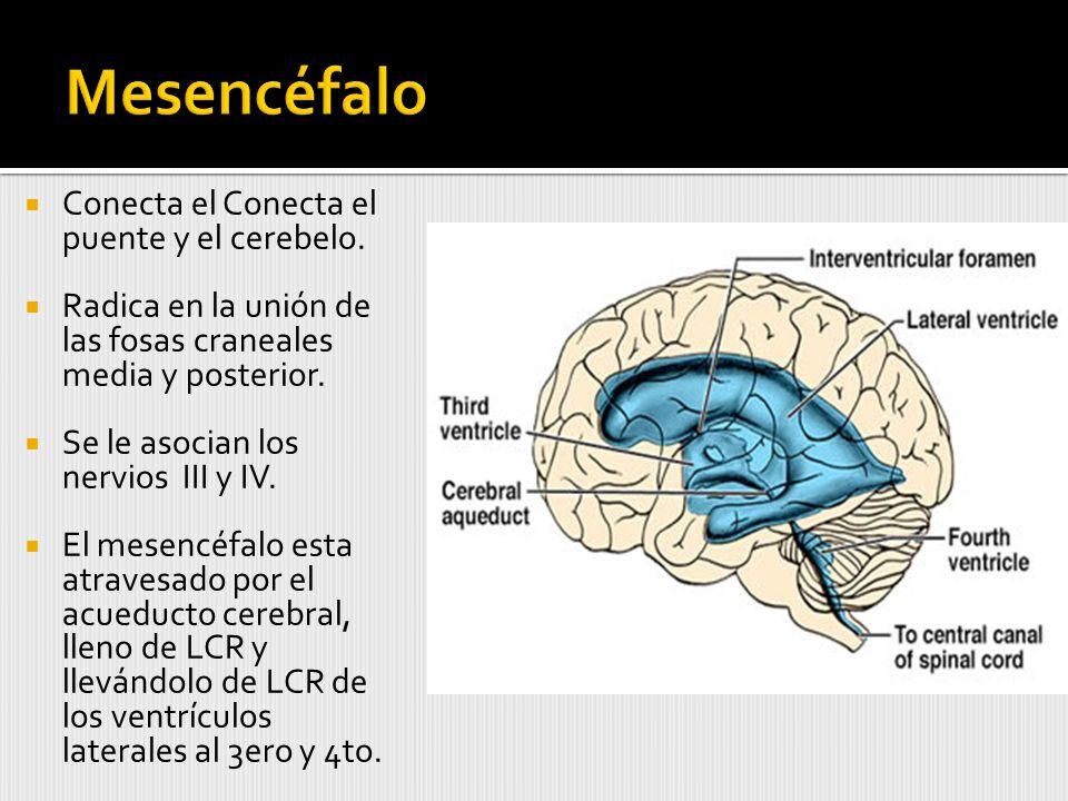 Mesencéfalo Conecta el Conecta el puente y el cerebelo.