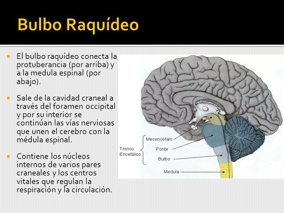 Bulbo Raquídeo El bulbo raquídeo conecta la protuberancia (por arriba) y a la medula espinal (por abajo).