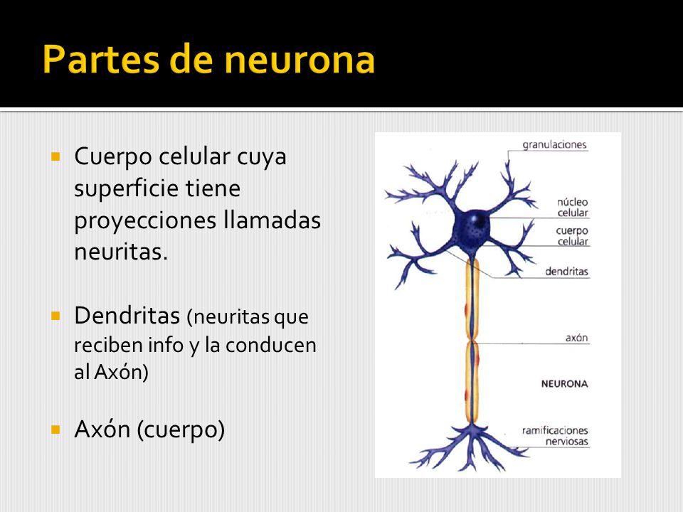 Partes de neurona Cuerpo celular cuya superficie tiene proyecciones llamadas neuritas. Dendritas (neuritas que reciben info y la conducen al Axón)