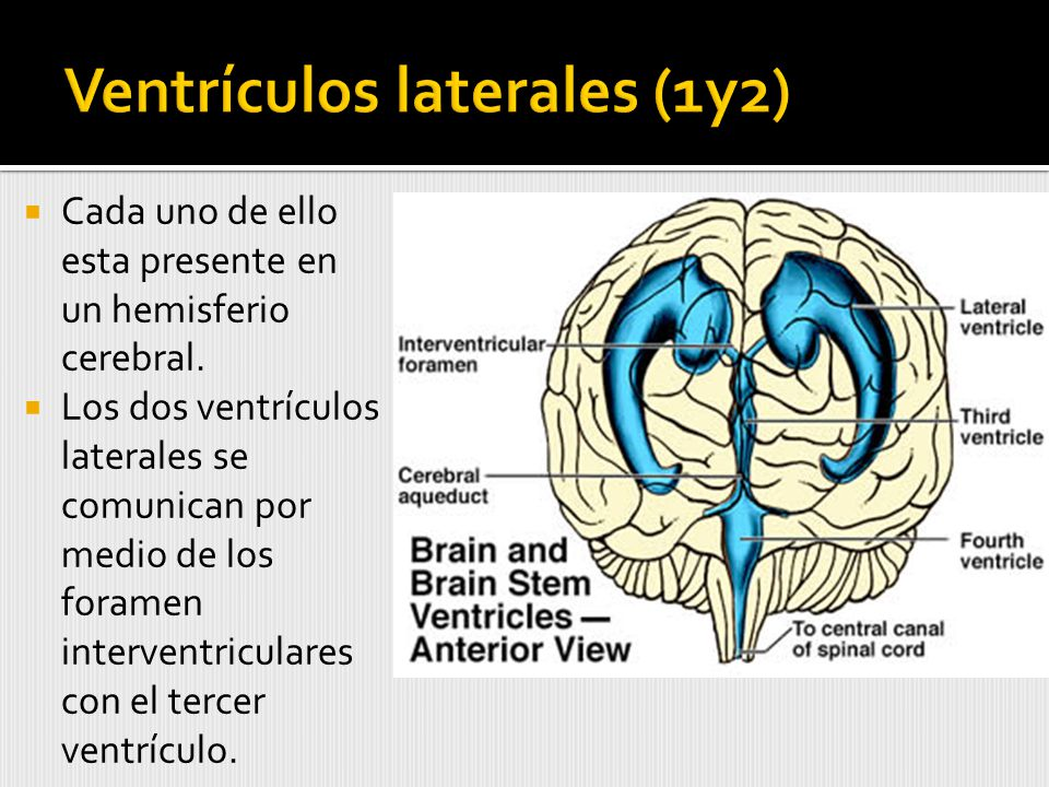 Ventrículos laterales (1y2)