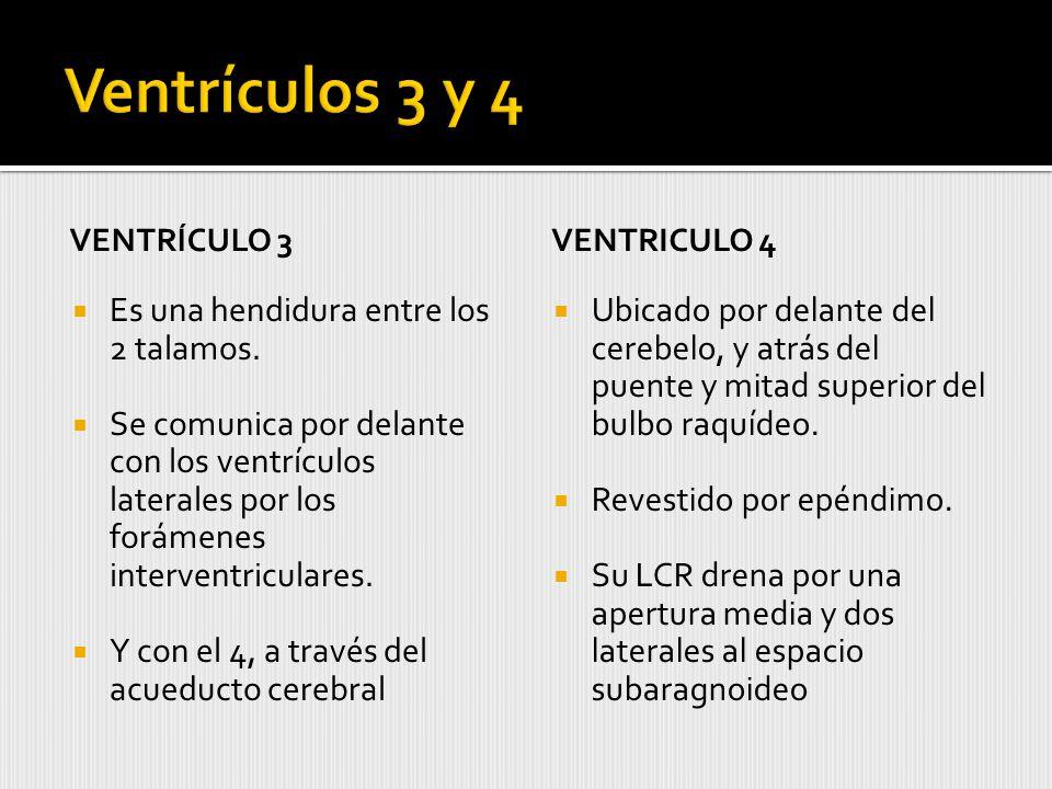 Ventrículos 3 y 4 Es una hendidura entre los 2 talamos.