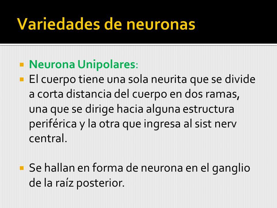 Variedades de neuronas
