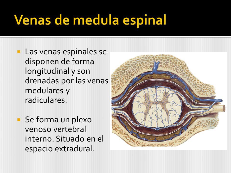 Venas de medula espinal