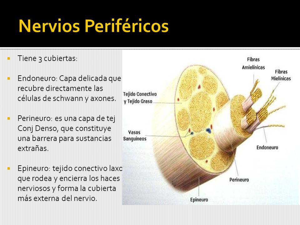 Nervios Periféricos Tiene 3 cubiertas:
