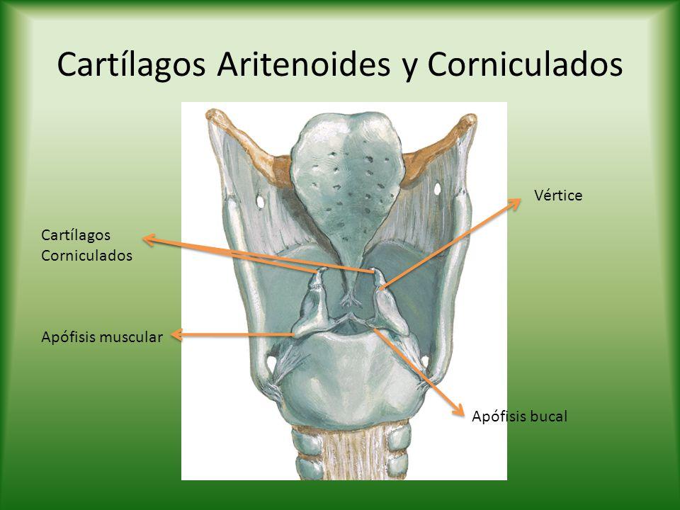 Cartílagos Aritenoides y Corniculados