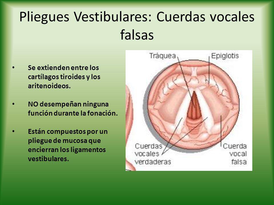 Pliegues Vestibulares: Cuerdas vocales falsas