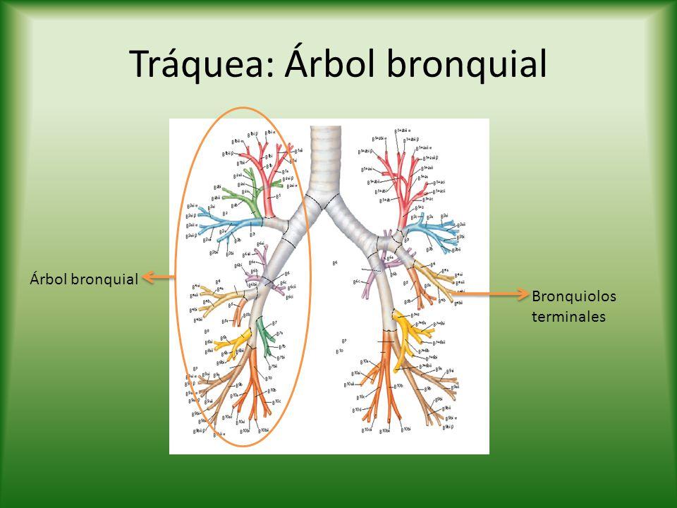 Tráquea: Árbol bronquial