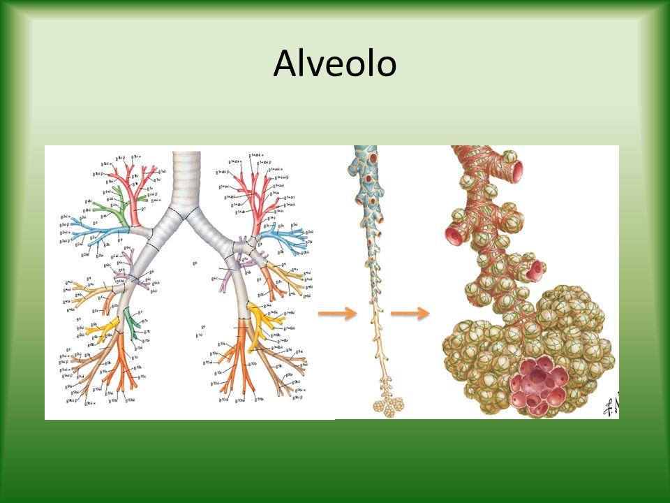 Alveolo