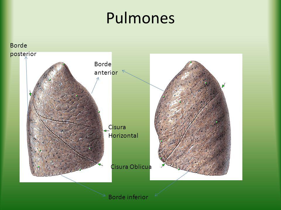 Pulmones Borde posterior Borde anterior Cisura Horizontal