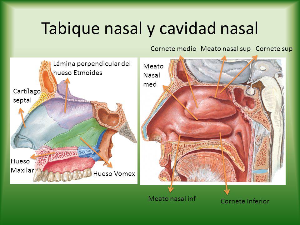 Tabique nasal y cavidad nasal