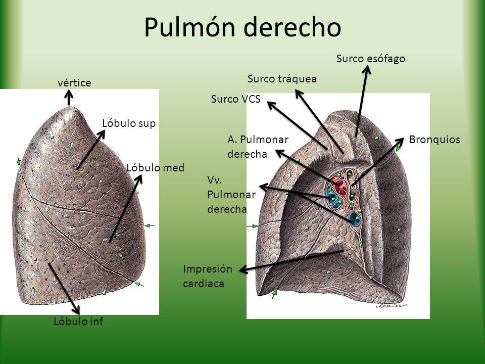 Pulmón derecho Surco esófago Surco tráquea vértice Surco VCS