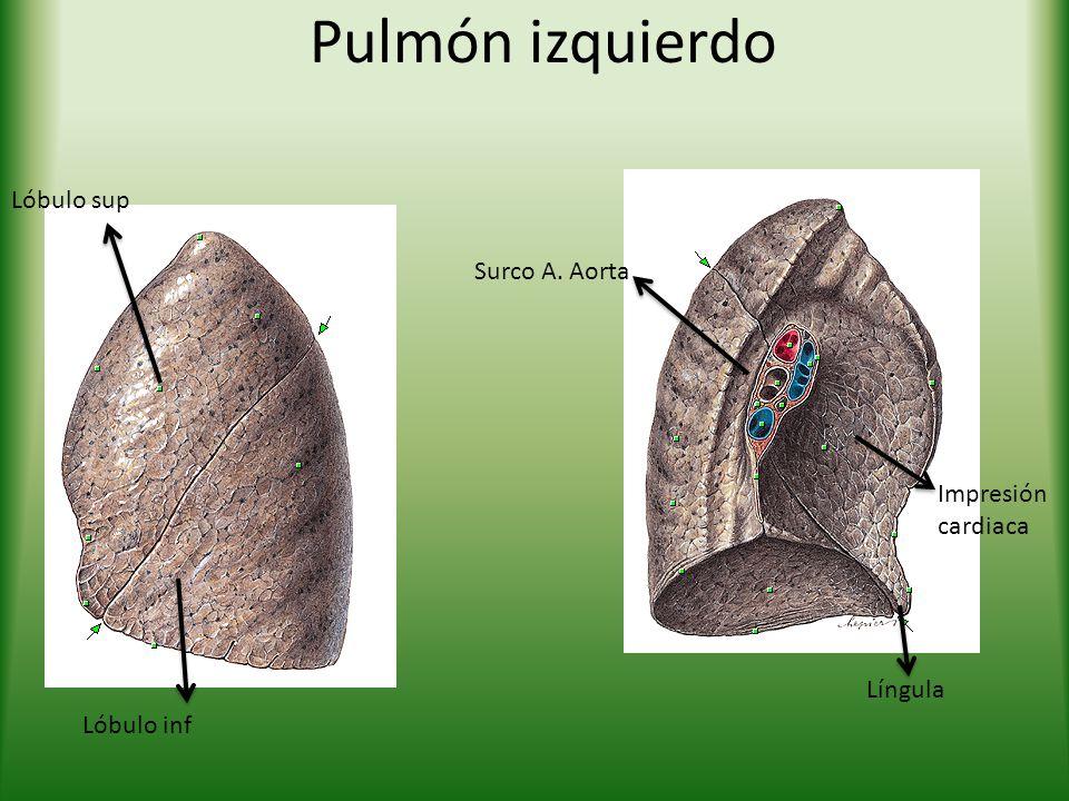 Pulmón izquierdo Lóbulo sup Surco A. Aorta Impresión cardiaca Língula