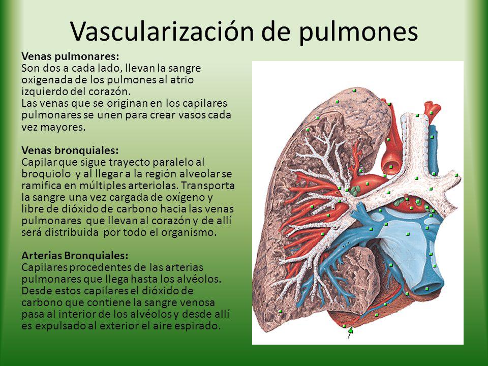 Vascularización de pulmones