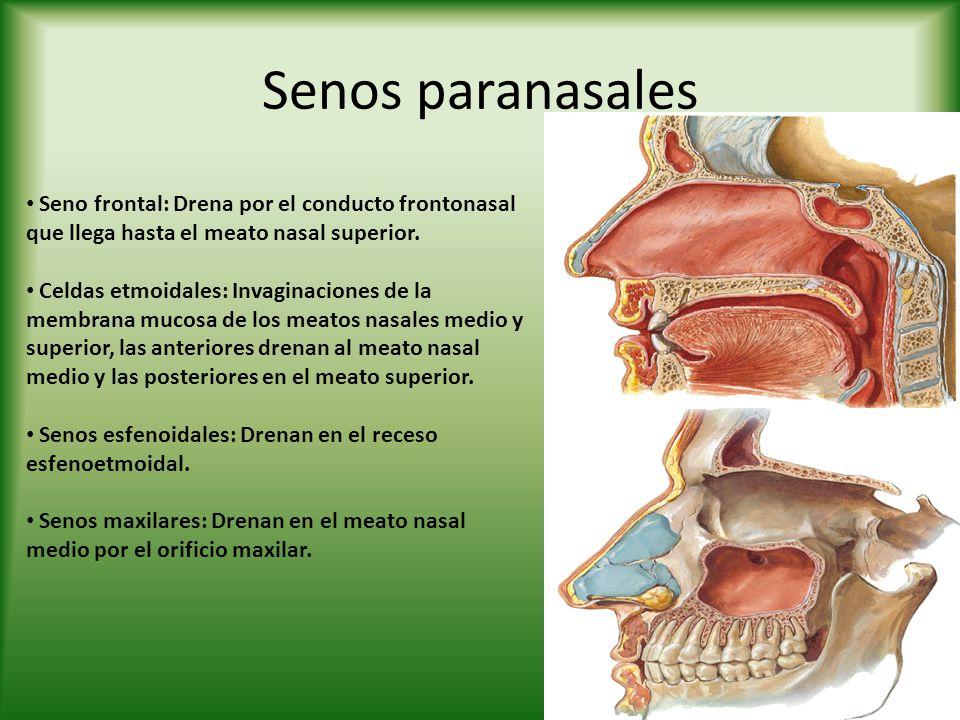 Senos paranasales Seno frontal: Drena por el conducto frontonasal que llega hasta el meato nasal superior.