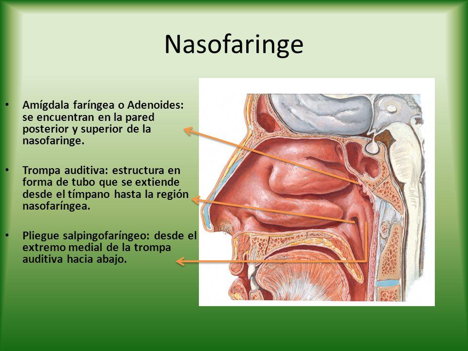 Nasofaringe Amígdala faríngea o Adenoides: se encuentran en la pared posterior y superior de la nasofaringe.