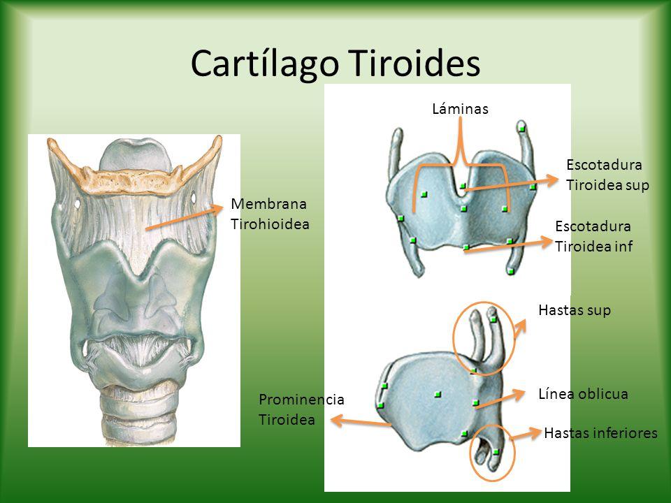Cartílago Tiroides Láminas Escotadura Tiroidea sup
