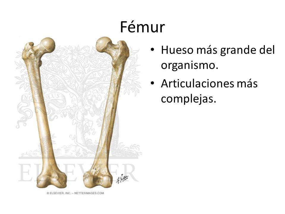 Fémur Hueso más grande del organismo. Articulaciones más complejas.