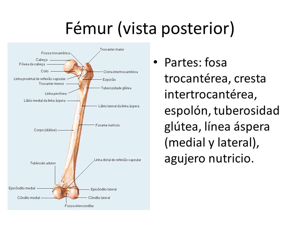 Fémur (vista posterior)