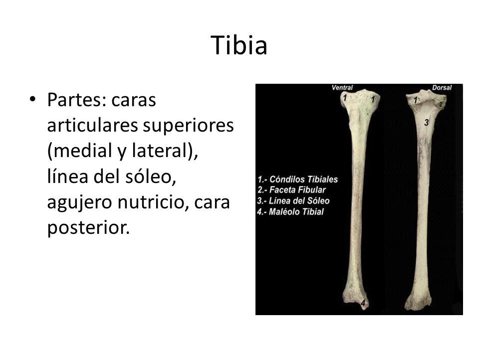 Tibia Partes: caras articulares superiores (medial y lateral), línea del sóleo, agujero nutricio, cara posterior.
