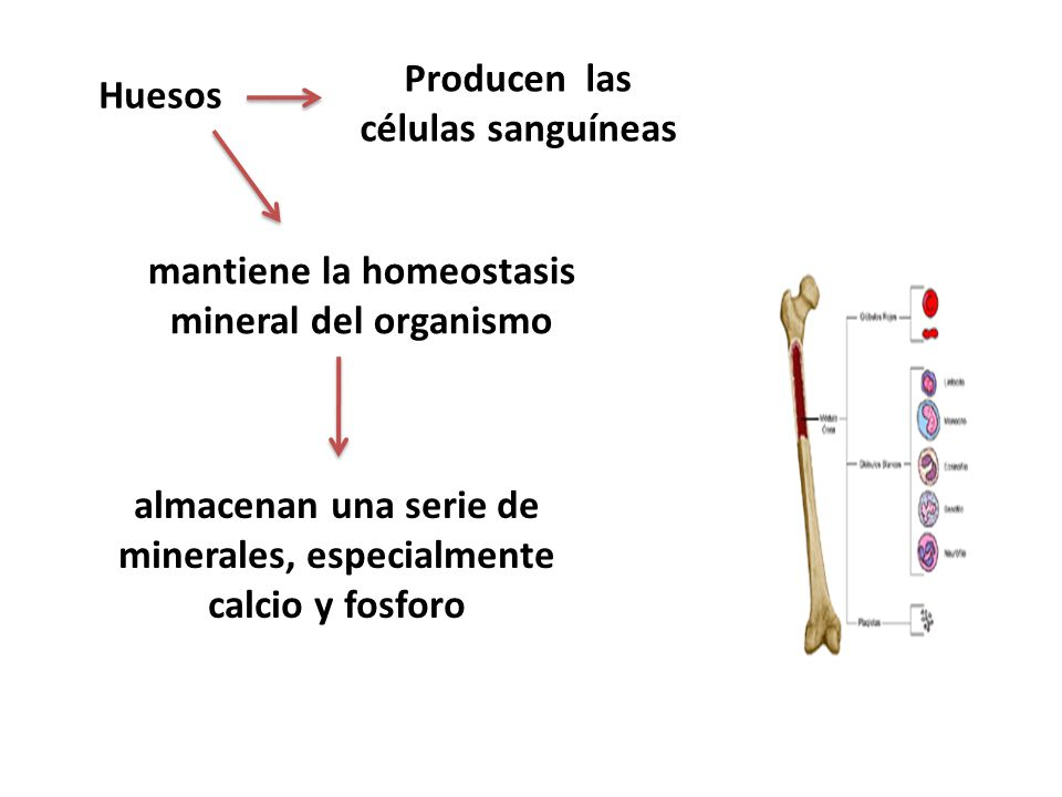 Producen las células sanguíneas Huesos