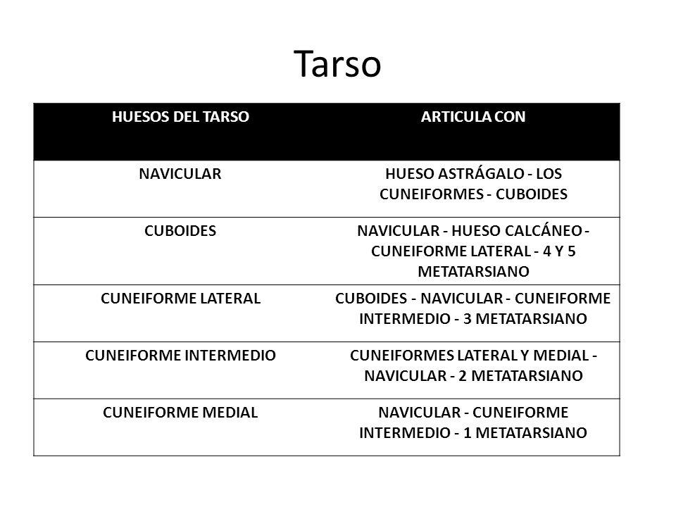 Tarso HUESOS DEL TARSO ARTICULA CON NAVICULAR