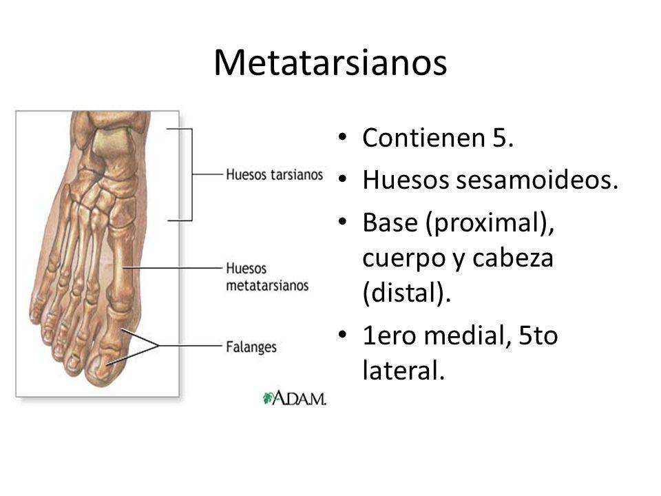 Metatarsianos Contienen 5. Huesos sesamoideos.