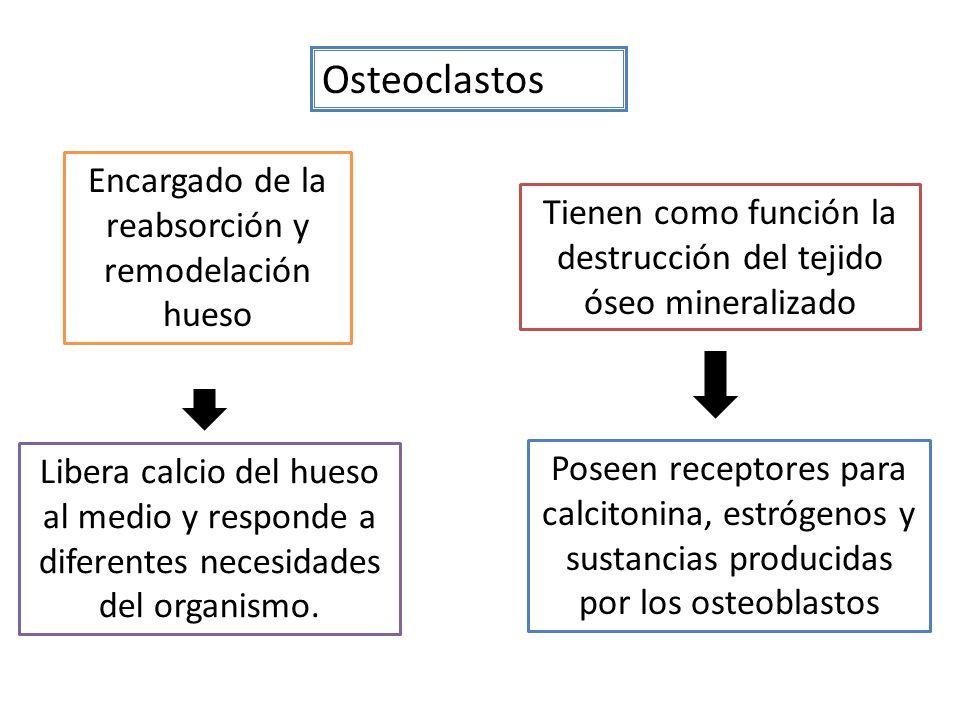 Osteoclastos Encargado de la reabsorción y remodelación hueso