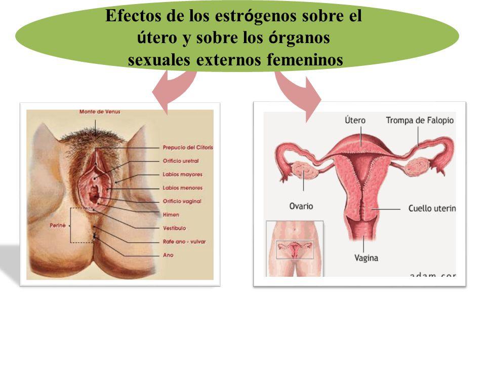 Efectos de los estrógenos sobre el útero y sobre los órganos
