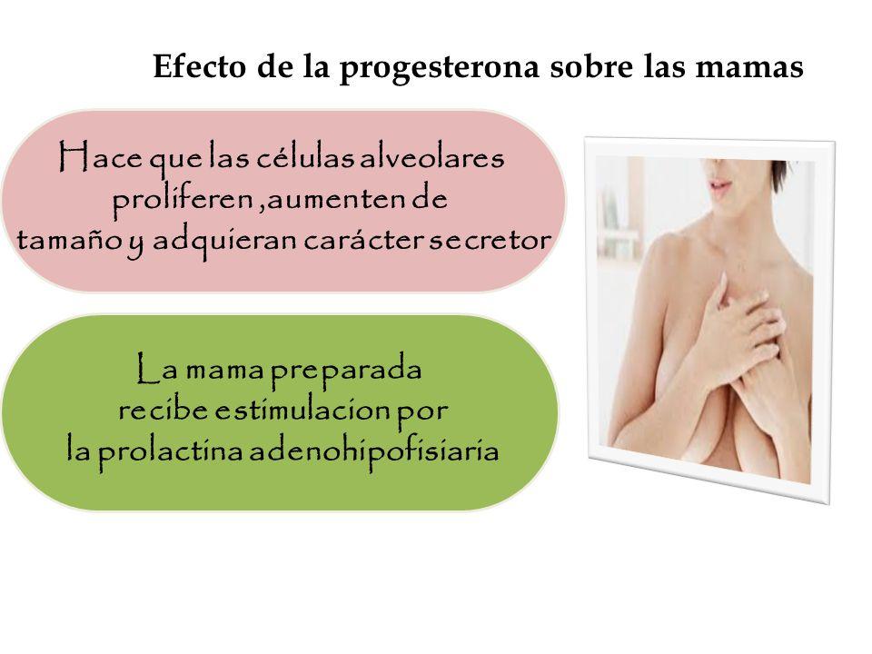 Efecto de la progesterona sobre las mamas