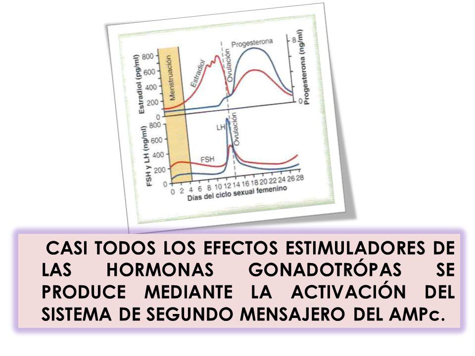 CASI TODOS LOS EFECTOS ESTIMULADORES DE LAS HORMONAS GONADOTRÓPAS SE PRODUCE MEDIANTE LA ACTIVACIÓN DEL SISTEMA DE SEGUNDO MENSAJERO DEL AMPc.