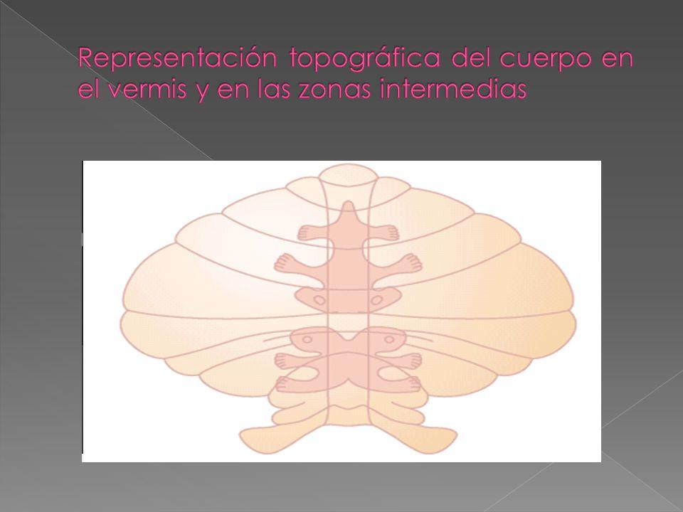 Representación topográfica del cuerpo en el vermis y en las zonas intermedias