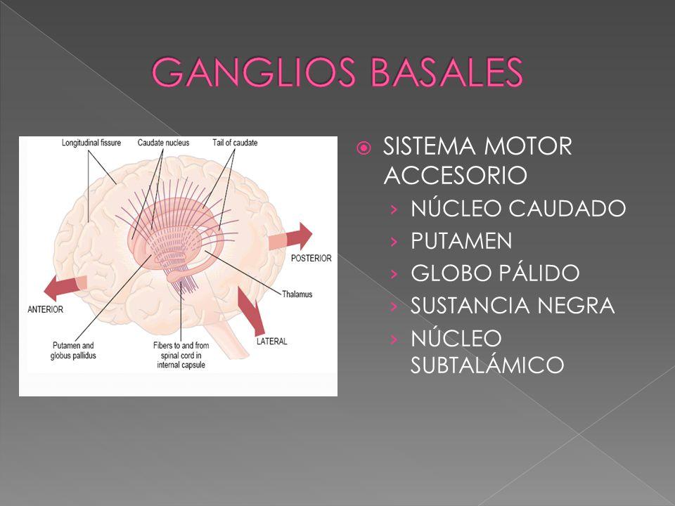 GANGLIOS BASALES SISTEMA MOTOR ACCESORIO NÚCLEO CAUDADO PUTAMEN