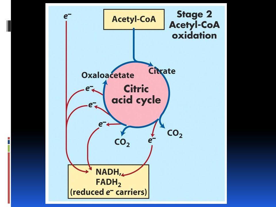 El ciclo de Krebs ocurre en el citoplasma de los procariotas en organismos aerobios. Y en eucariotas en el mitocondrio.