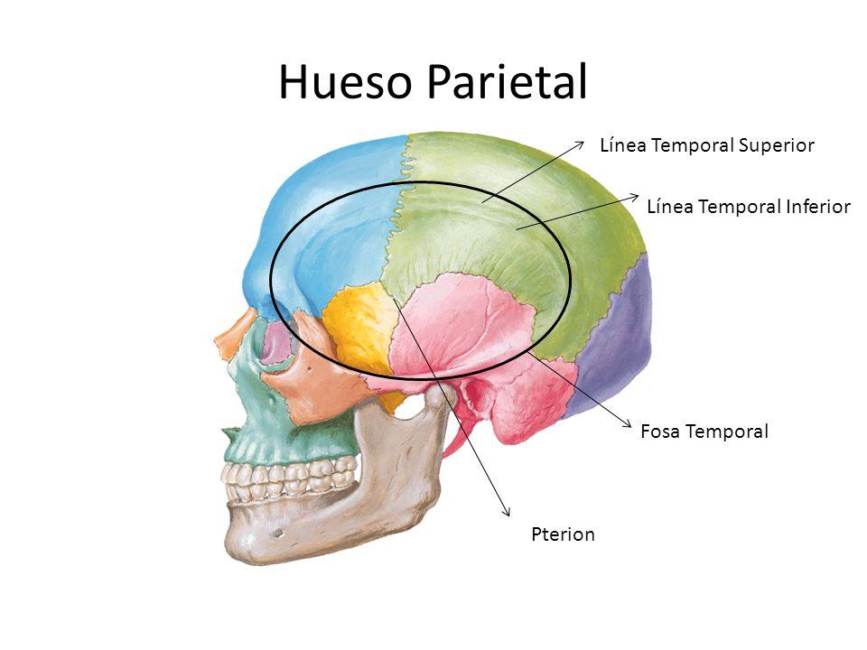 Hueso Parietal Línea Temporal Superior Línea Temporal Inferior