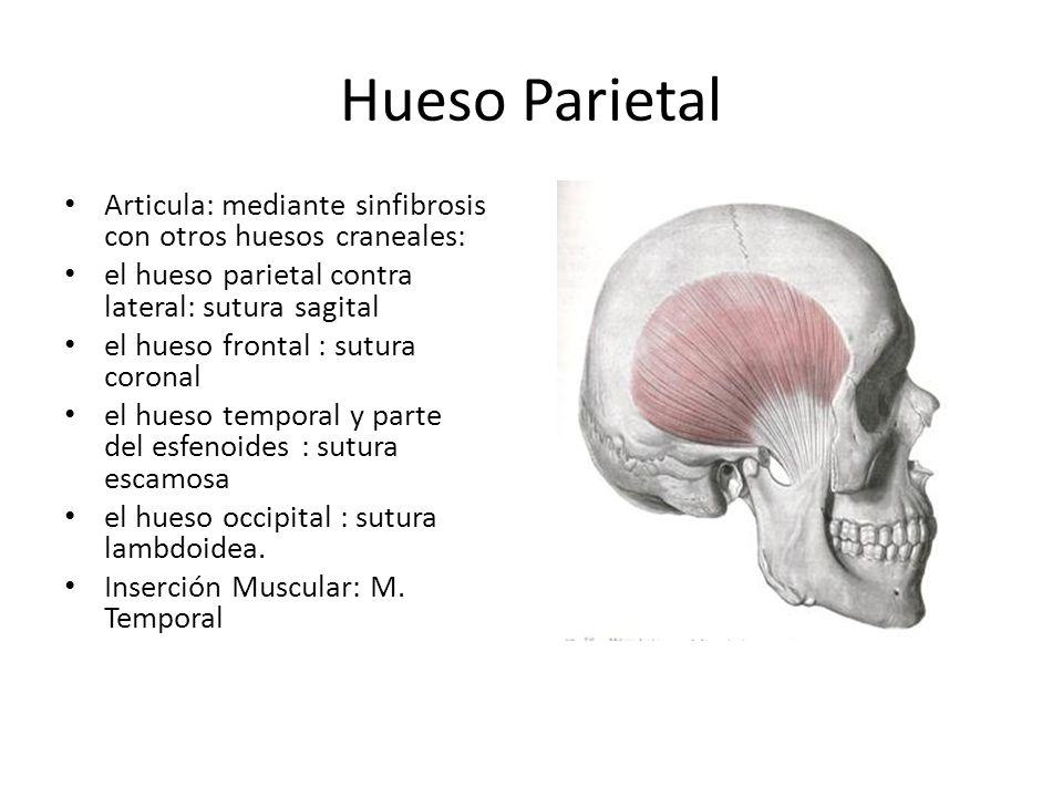 Hueso Parietal Articula: mediante sinfibrosis con otros huesos craneales: el hueso parietal contra lateral: sutura sagital.