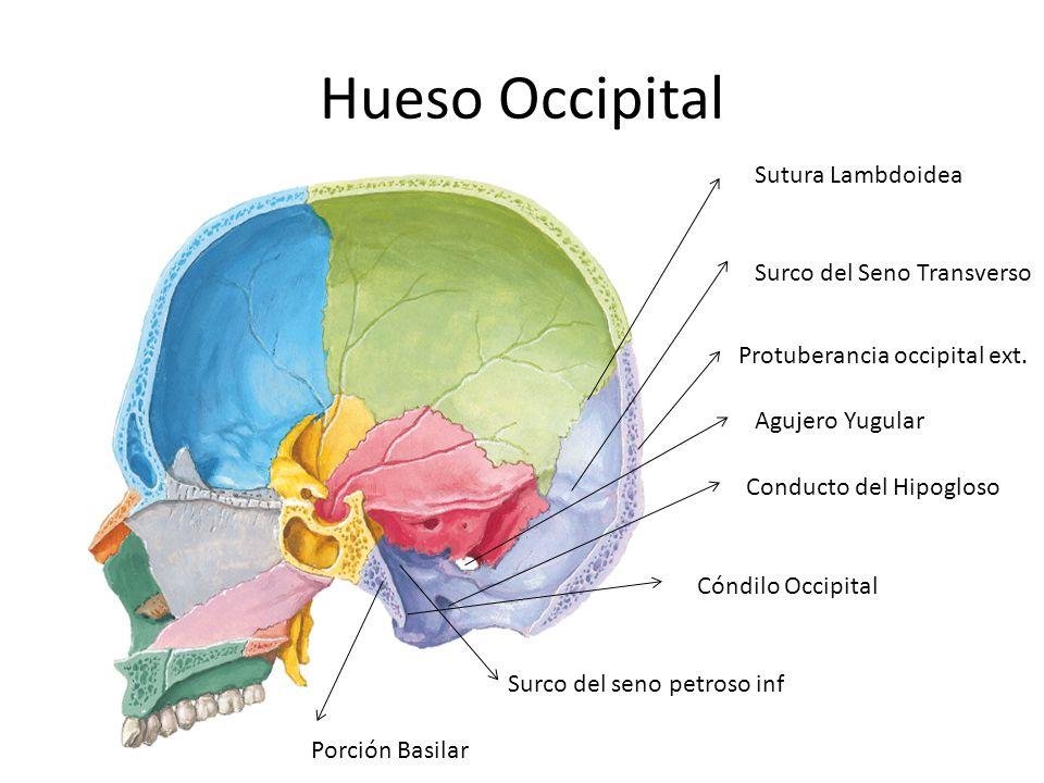 Hueso Occipital Sutura Lambdoidea Surco del Seno Transverso