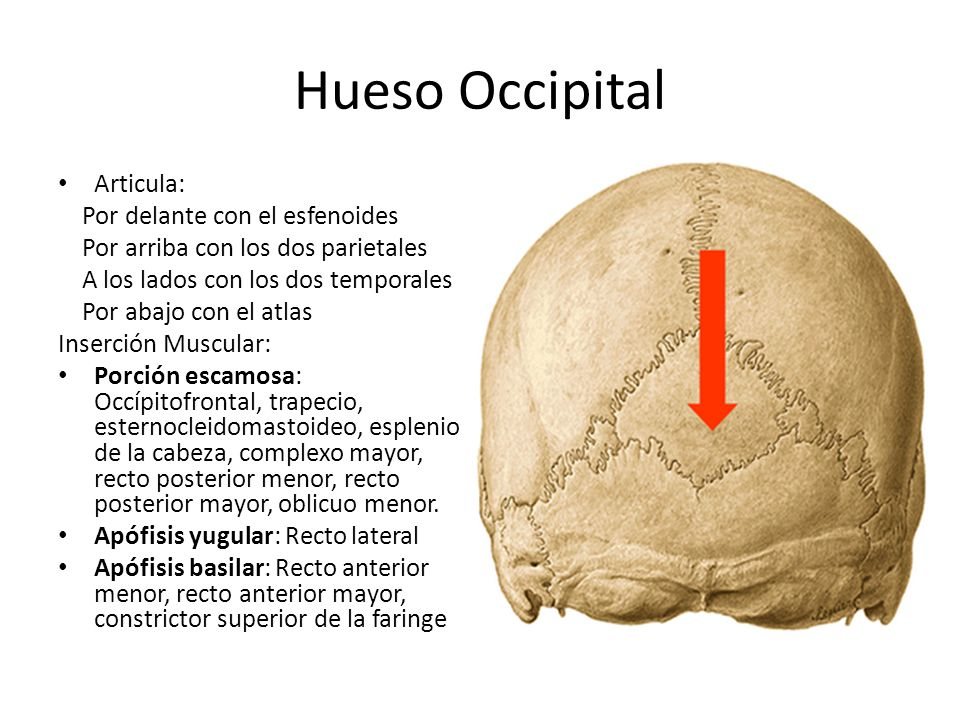 Hueso Occipital Articula: Por delante con el esfenoides