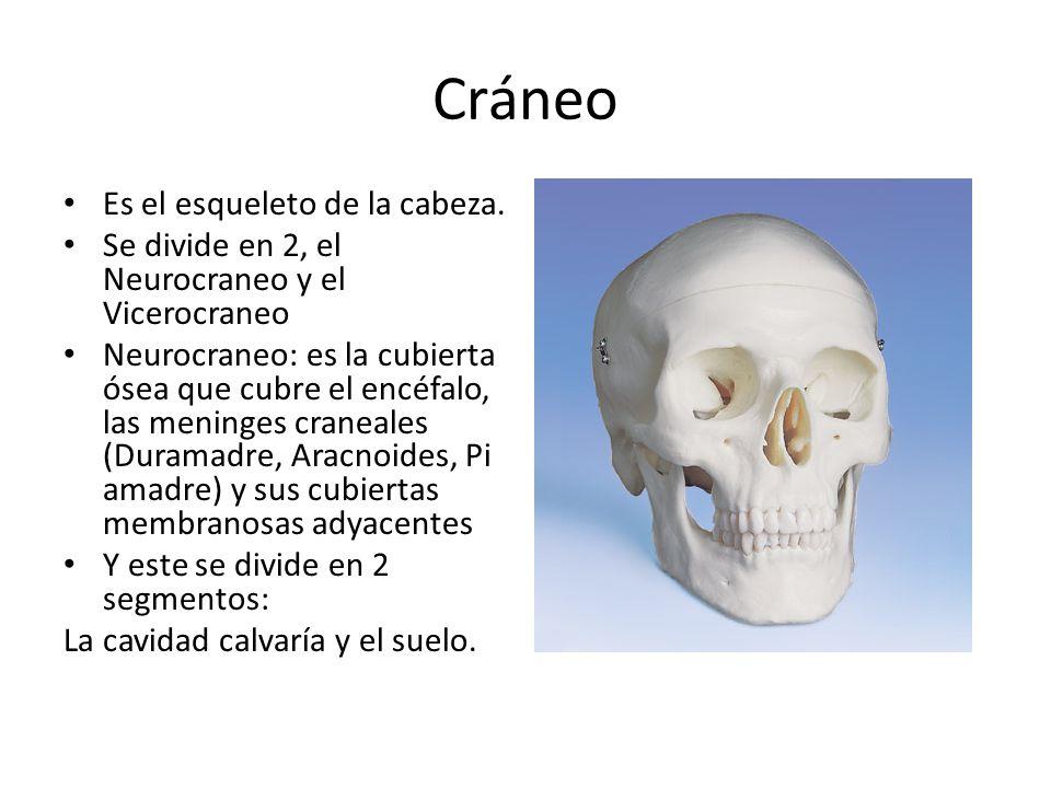 Cráneo Es el esqueleto de la cabeza.