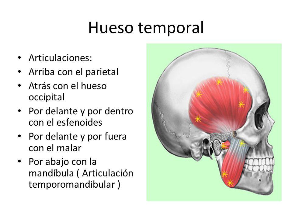 Hueso temporal Articulaciones: Arriba con el parietal