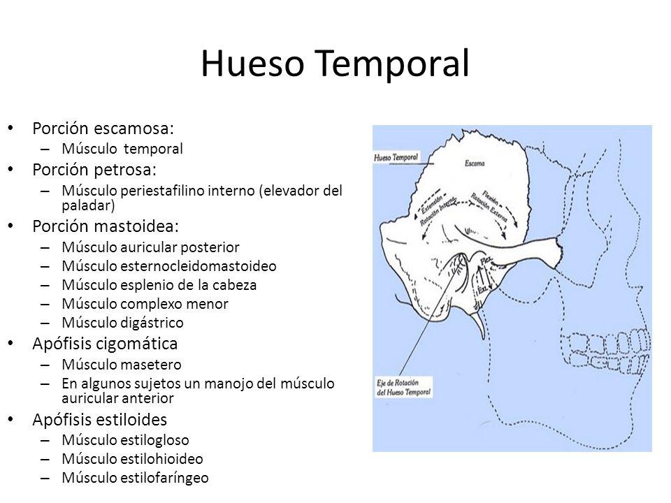 Hueso Temporal Porción escamosa: Porción petrosa: Porción mastoidea: