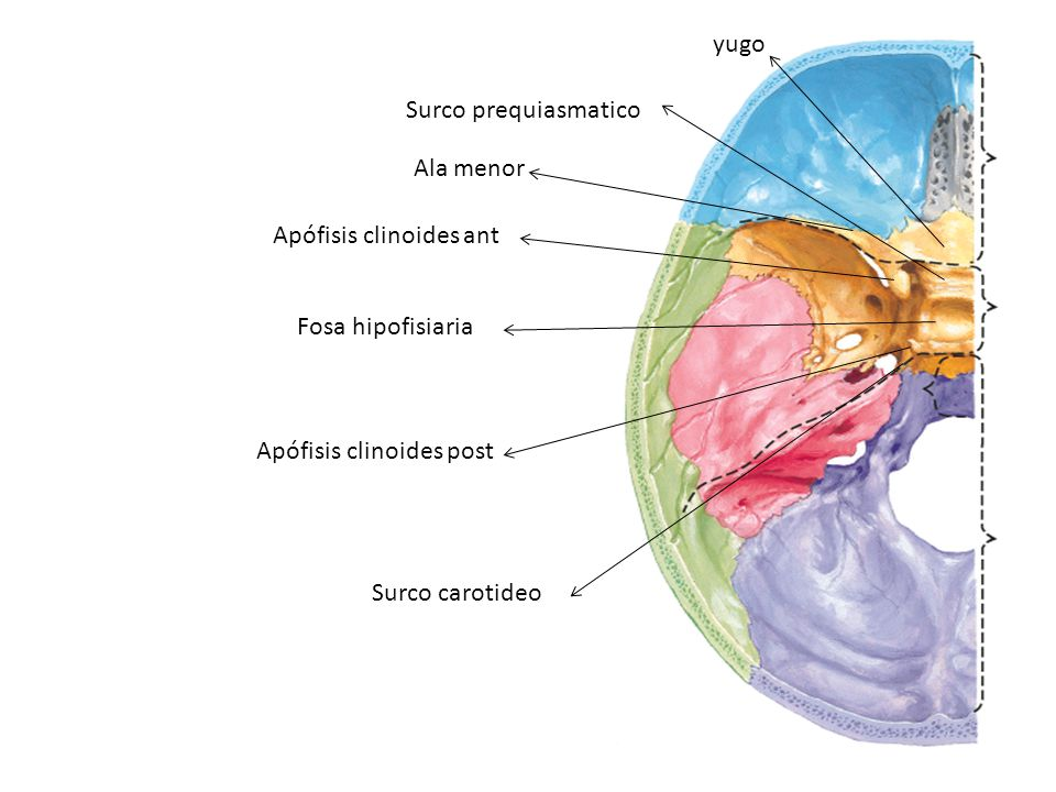 yugo Surco prequiasmatico. Ala menor. Apófisis clinoides ant. Fosa hipofisiaria. Apófisis clinoides post.