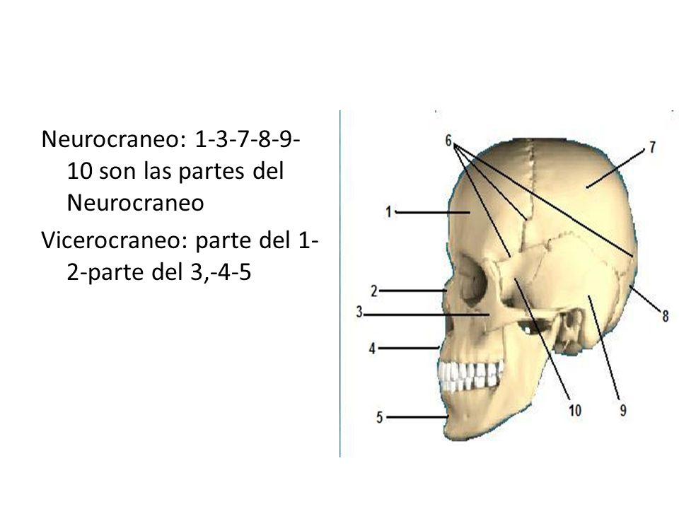 Neurocraneo: 1-3-7-8-9-10 son las partes del Neurocraneo Vicerocraneo: parte del 1-2-parte del 3,-4-5