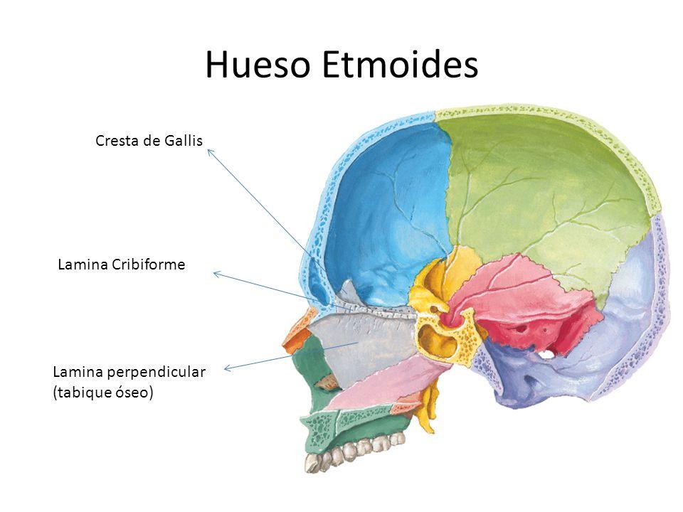 Hueso Etmoides Cresta de Gallis Lamina Cribiforme
