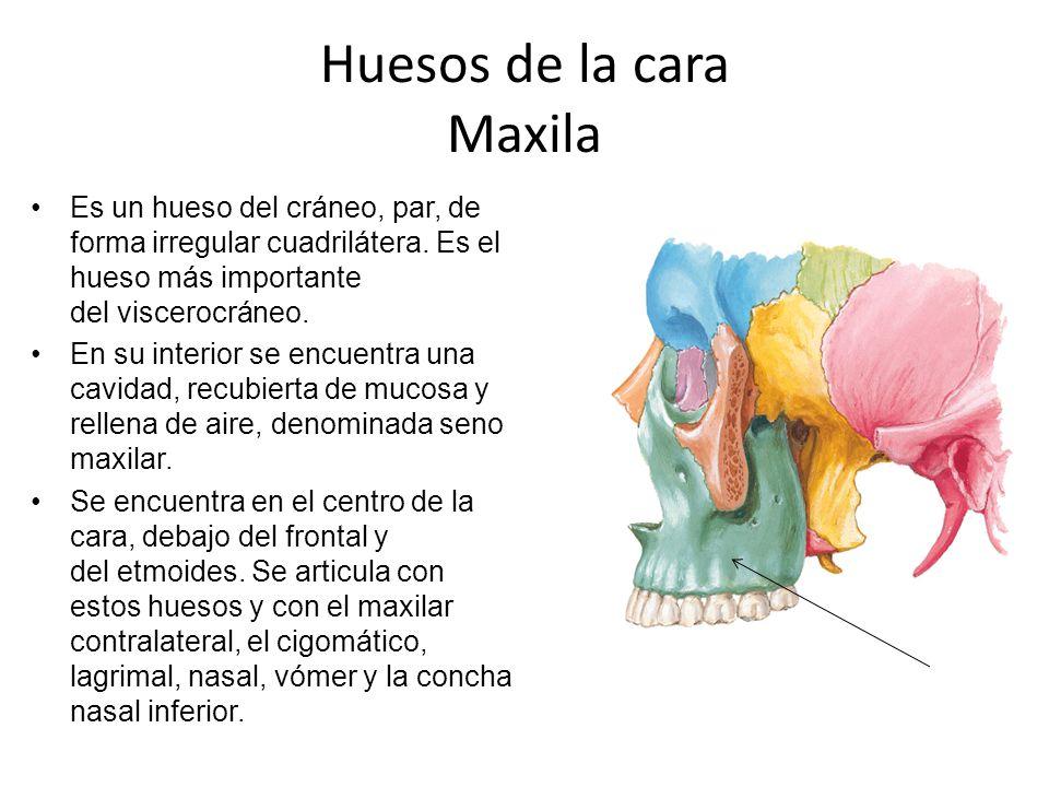 Huesos de la cara Maxila