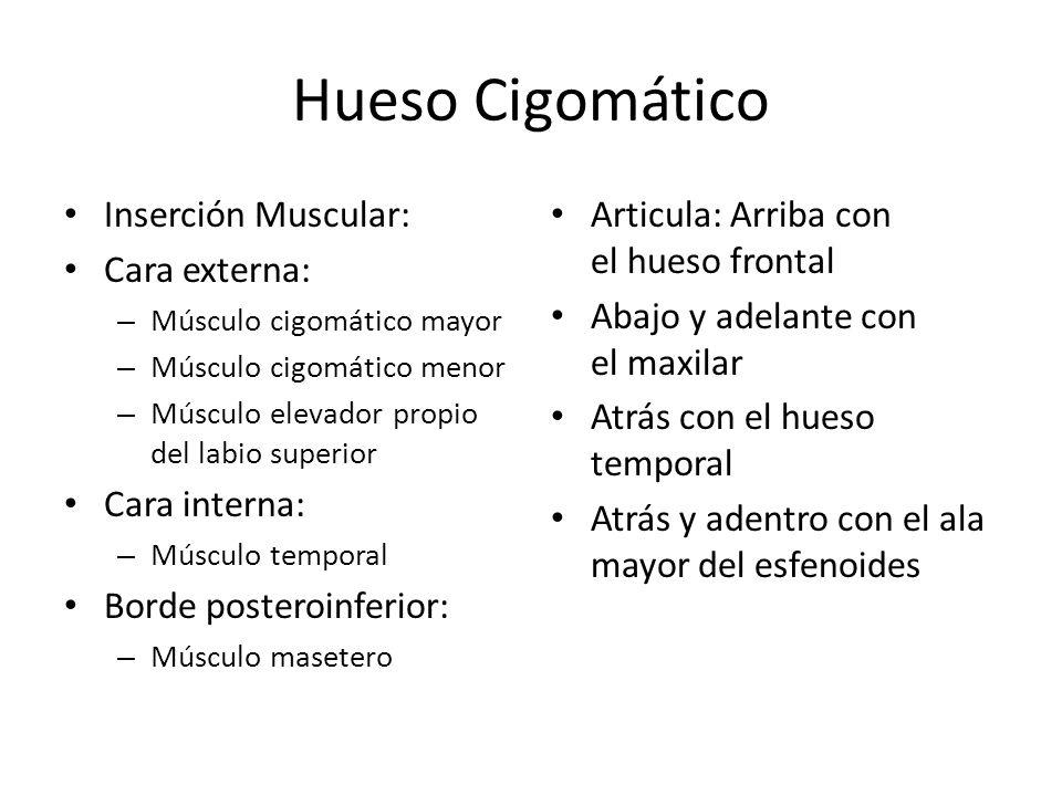 Hueso Cigomático Inserción Muscular: Cara externa: Cara interna: