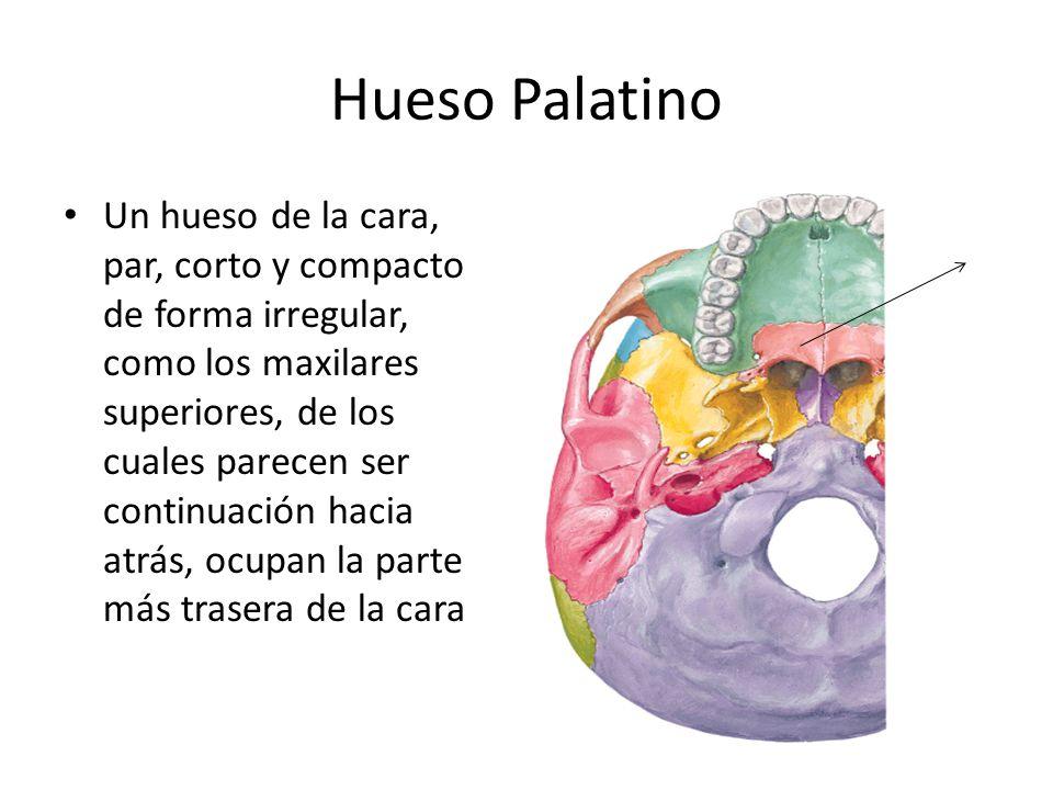 Hueso Palatino