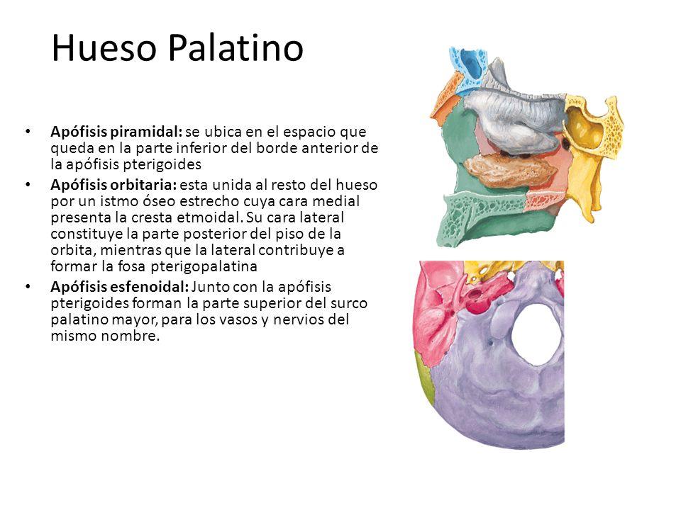 Hueso Palatino Apófisis piramidal: se ubica en el espacio que queda en la parte inferior del borde anterior de la apófisis pterigoides.
