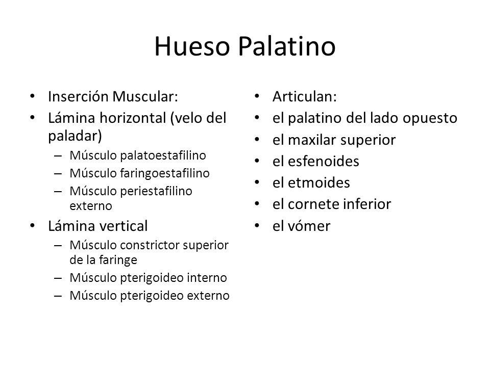 Hueso Palatino Inserción Muscular:
