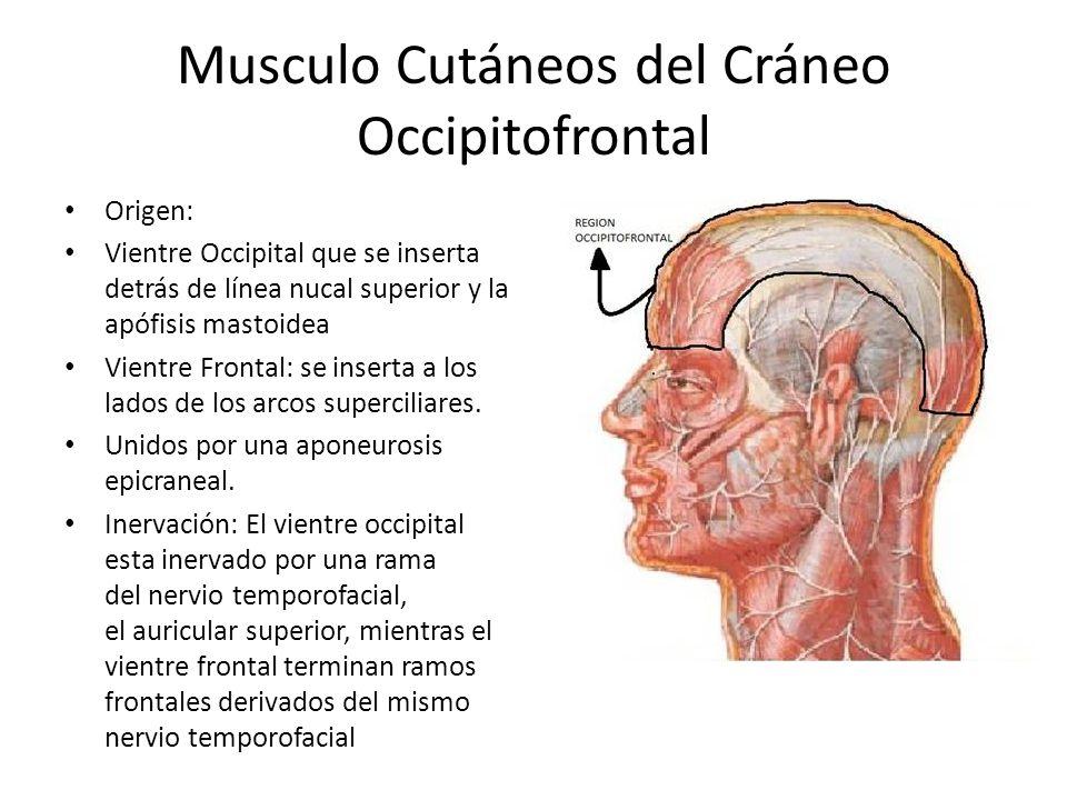 Musculo Cutáneos del Cráneo Occipitofrontal
